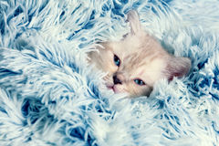 Kitten peeking out from under the blanket Stock Images