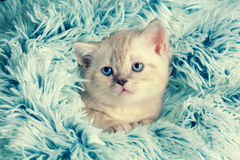 Kitten peeking out from under the blanket Stock Image