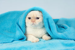Kitten peeking out from under the blue blanket. Cute little kitten peeking out from under the soft warm blue blanket Stock Photography