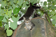 Kitten peeks out of the den. Wildcat Royalty Free Stock Images