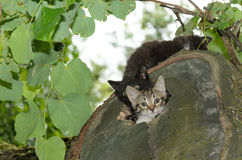 Kitten peeks out of the den. Wildcat Royalty Free Stock Photo