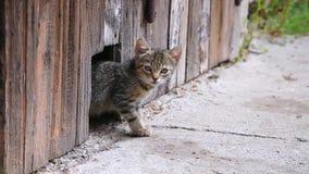 Kitten peep outside stock video
