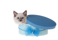 Kitten peeping out of gift box. Ragdoll kitten sitting inside blue box deep-etched seamless white Stock Photo