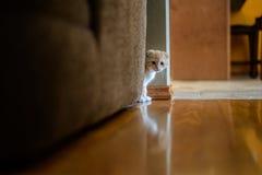 Kitten Peering Around Couch Stock Afbeeldingen