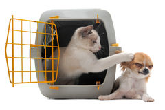 Kitten in pet carrier and chihuahua Stock Photos
