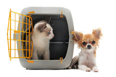 Kitten in pet carrier and chihuahua Stock Image