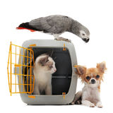 Kitten in pet carrier, parrot and chihuahua. Cat closed inside pet carrier, parrot and chihuahua isolated on white background Stock Photos