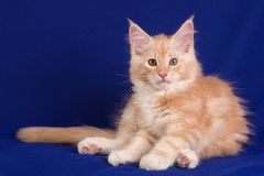 Kitten pet cat Royalty Free Stock Photography