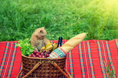 Kitten at picnic Royalty Free Stock Image