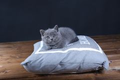 Kitten on pillow. British Shorthair kitten lying on a pillow, close-up portrait, wooden floor Royalty Free Stock Image
