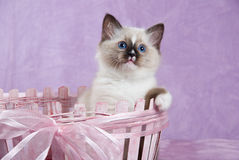 Kitten in pink basket looking curious. Seal point Ragdoll kitten in pink basket, with paw hanging over edge Royalty Free Stock Photos