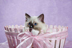 Kitten in pink basket showing off paws. Ragdoll kitten in pink basket, peeping over white paws and looking really cute royalty free stock images
