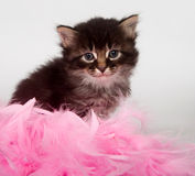 Kitten and pink feathers Stock Image