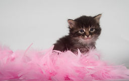Kitten and pink feathers Stock Photo