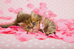 Kitten on pink rose petals. Cute golden chinchilla Persian kitten with pink bow lying on scattered rose petals royalty free stock photos
