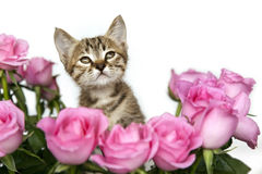 Kitten in Pink Roses Royalty Free Stock Photo