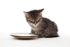 Kitten with plate of sour cream Stock Images