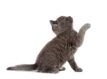 Kitten play Royalty Free Stock Image