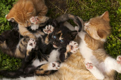 Playful kittens. Kittens playing together by the momma cat Royalty Free Stock Images