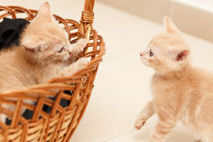 Kitten play and shows his tongue. Kittens play inside the basket Stock Photography