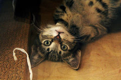 Kitten. A playful kitten playing and being cute Stock Photography