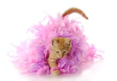 Kitten playing Royalty Free Stock Photo