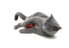 Kitten playing with apple on a white background Royalty Free Stock Photography