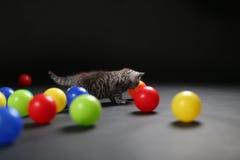 Kitten playing balls. British Shorthair kitten playing with colored balls Stock Image