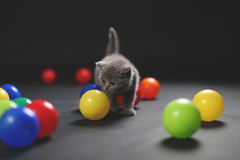 Kitten playing balls. British Shorthair kitten playing with colored balls royalty free stock photo