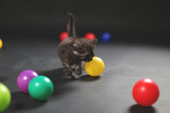 Kitten playing balls. British Shorthair kitten playing with colored balls stock photography