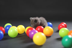 Kitten playing balls. British Shorthair kitten playing with colored balls royalty free stock photography