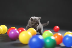 Kitten playing balls. British Shorthair kitten playing with colored balls royalty free stock image