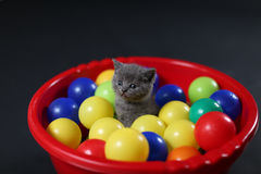 Kitten playing balls. British Shorthair kitten playing with colored balls, toys in a basin stock images