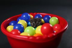 Kitten playing balls. British Shorthair kitten playing with colored balls, toys in a basin royalty free stock photo