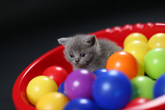 Kitten playing balls. British Shorthair kitten playing with colored balls, toys in a basin stock image