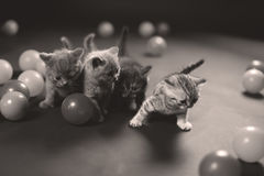 Kitten playing balls. British Shorthair kitten playing with small balls Royalty Free Stock Images