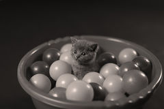 Kitten playing balls. British Shorthair kitten playing with small balls, toys in a basin royalty free stock photography