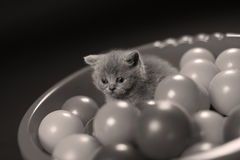 Kitten playing balls. British Shorthair kitten playing with small balls, toys in a basin royalty free stock photos