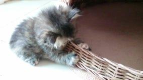 Kitten playing basket. Footage taken on 2015 stock video footage