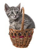 Kitten playing in a basket Royalty Free Stock Photo