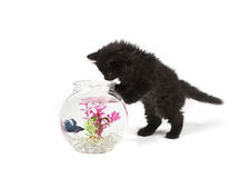 Kitten playing with betta fish in bowl Royalty Free Stock Images