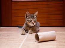 Kitten playing with a cardboard toilet paper roll Stock Photo