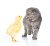 Kitten playing with chicken. isolated on white background Stock Images