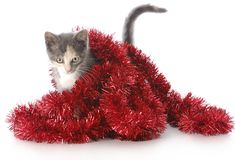 Kitten playing with christmas garland. Adorable nine week old kitten playing in red christmas garland with reflection on white background Stock Images