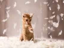Kitten playing in feathers Royalty Free Stock Photography