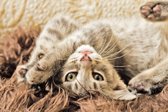 Kitten playing. A kitten playing on a furry rug Royalty Free Stock Images