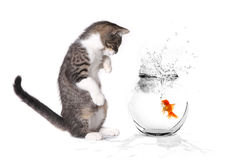 Kitten Playing With a Goldfish Royalty Free Stock Image
