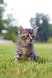 Kitten playing in the grass Stock Images