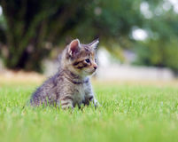 Kitten playing in the grass Royalty Free Stock Images