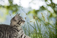 Kitten playing in the grass Stock Image